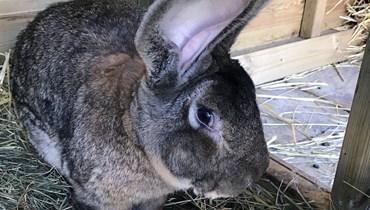 بالصور: لصوص يسرقون أكبر أرنب في العالم