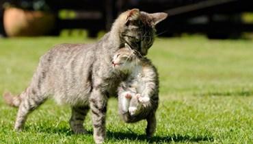 بالفيديو: قطة تنقذ صغيرها من هجوم كلاب