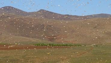 الجراد يغزو المناطق الجبلية (أ ف ب).
