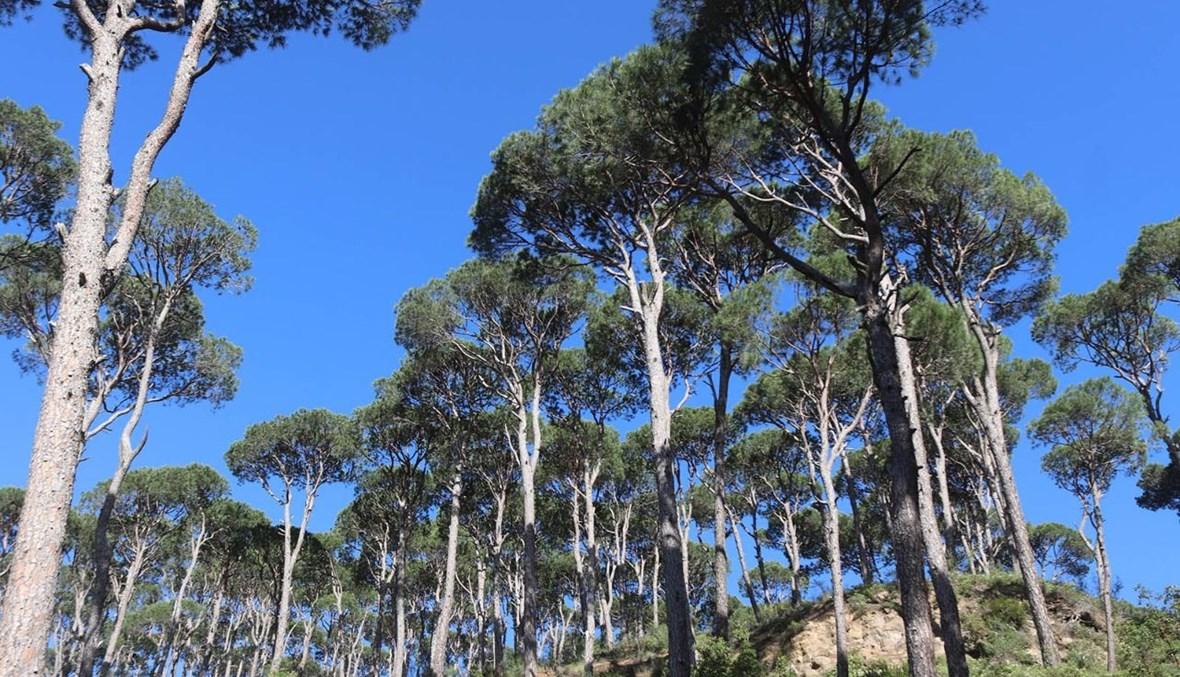 أشجار الصنوبر في جزين (أحمد منتش).