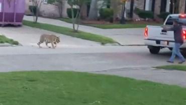 بالفيديو: ظهور نمر يثير الرعب في أحد الشوارع