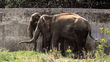 بالصور: صاعقة برق تقتل قطيعًا من الفيلة