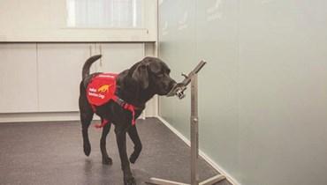الكلاب يمكنها الكشف عن أكثر 90% من إصابات كوفيد-19 في المطارات