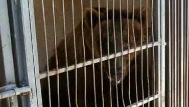 صورة لأحد الدببة المحتجزة من قفصهما في لبنان