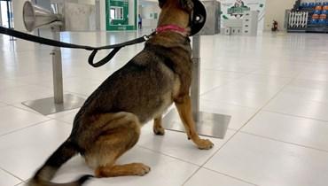 كلب يجرب فحصاً لكوفيد عبر حاسة الشم في مطار دبي.
