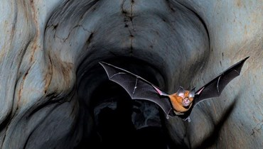خفاش داخل كهف (أ ف ب).