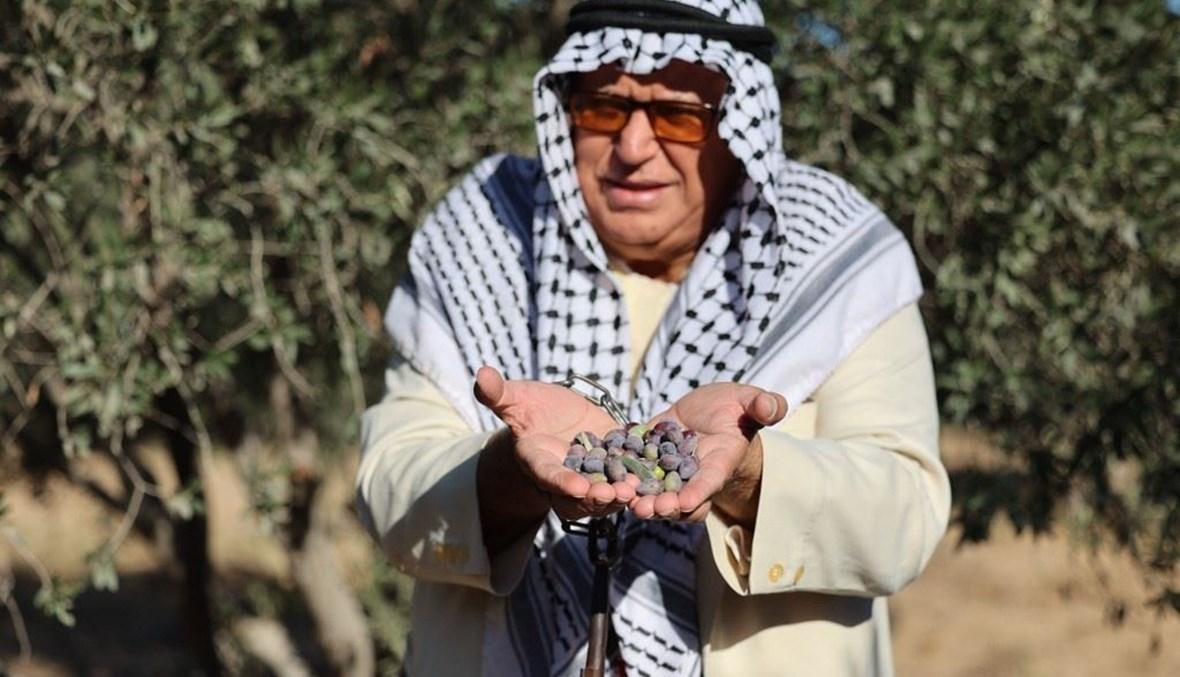 """مواطن فلسطيني في غزّة يعابين قطاف الزيتون هذا العام (تعبيرية- """"أ ف ب"""")."""