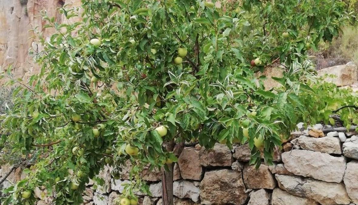 اليوم الوطنيّ للتفاح اللبناني