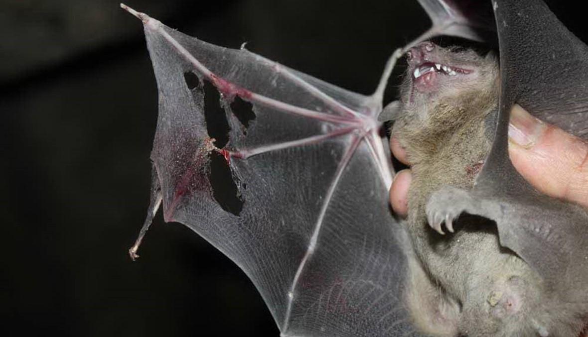 """""""الوطواط"""" قتلته الخرافات وأحيته الدراسات... مُهدّد بالإنقراض وله """"ليلة عالمية"""""""
