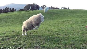 """خروف يتفوق في رياضة """"الركبي"""" (فيديو)"""