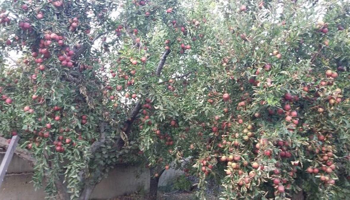 الإسمنت يتغلغل بين التفاح ويقضي على مساحات شاسعة منه