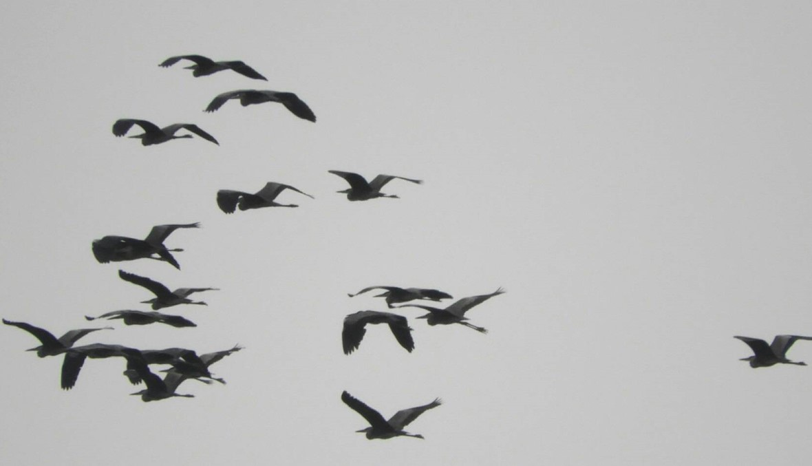 طيور مهاجرة تعبر فضاء عكار