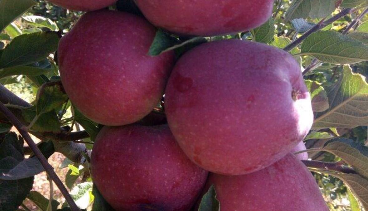 """التفاح """"على أمه"""" في عكار"""