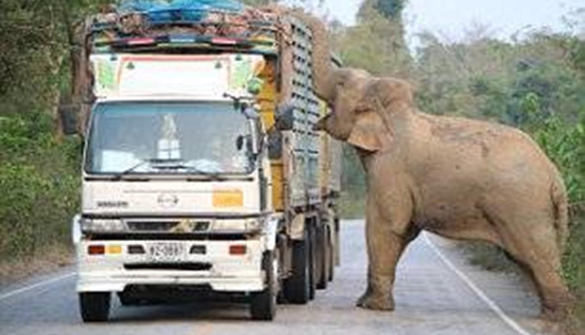 بالفيديو: فيل يتسبب بأزمة مرورية