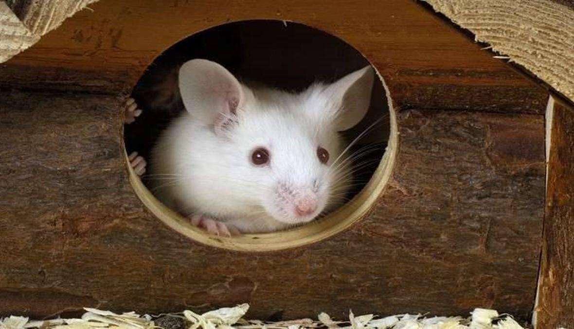 """زراعة """"دماغ"""" بشري في رؤوس الفئران... والنتيجة مدهشة"""