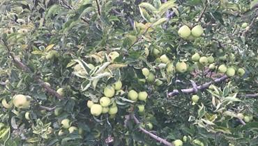 اعتصام لمزارعي التفاح في الضنية إحتجاجا على عدم تعويضهم اضرار العاصفة في نيسان