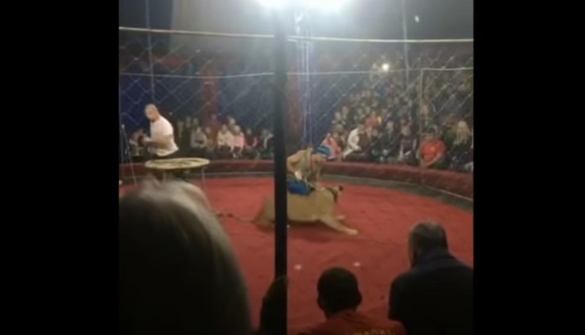 بالفيديو- أسد يهاجم طفلة في سيرك روسي