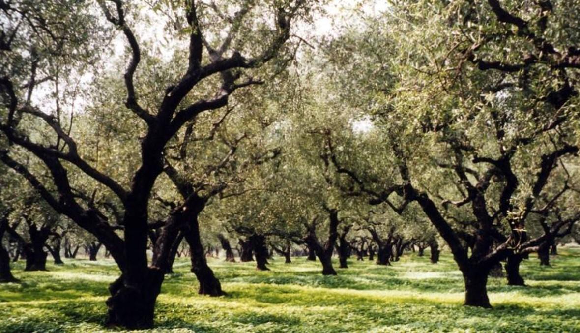 """إجماع في الأونيسكو... 26 تشرين الثاني يوماً عالمياً لشجرة الزيتون """"رمز الحياة"""""""