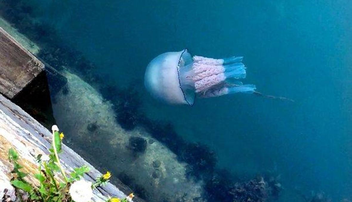سرب من قناديل البحر العملاقة يغزو سواحل إنكلترا