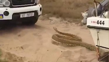 هرج ومرج في أدغال جنوب أفريقيا... ثعبان عملاق يطارد السيّاح