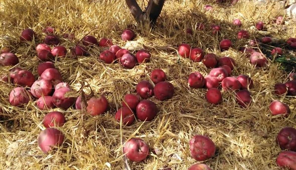 الزيتون يسلّم على التفاح والأسواق تغرق بالتهريب