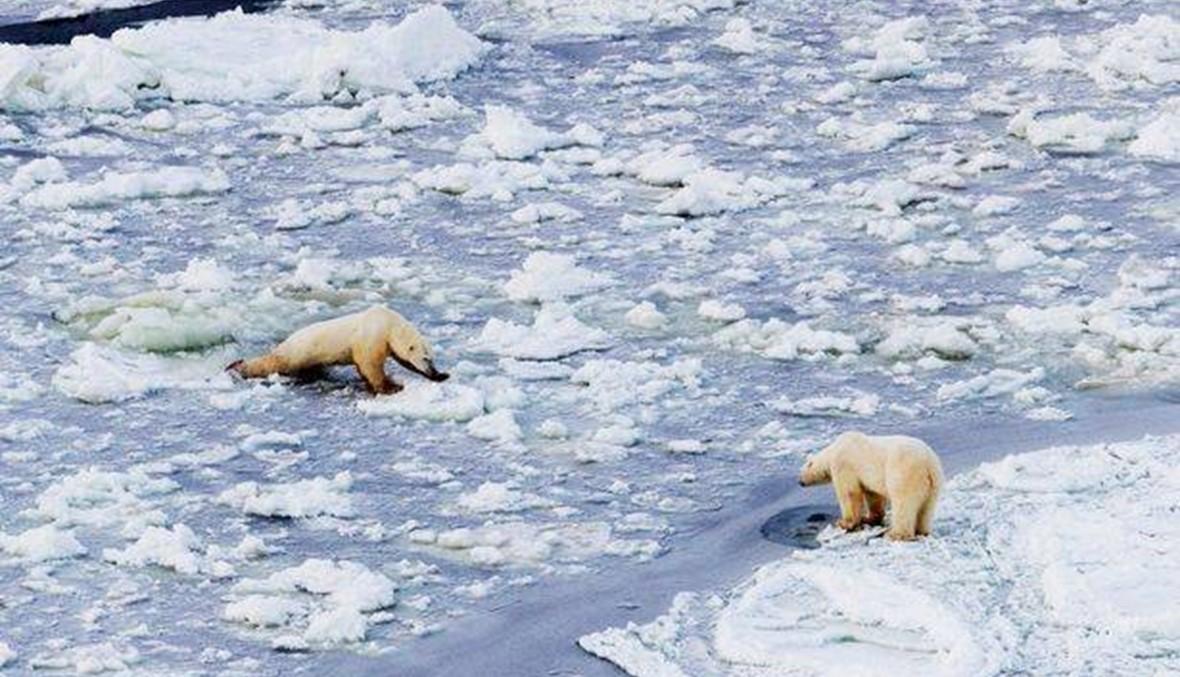 الدبب القطبيّة على وشك الانقراض... والسبب؟