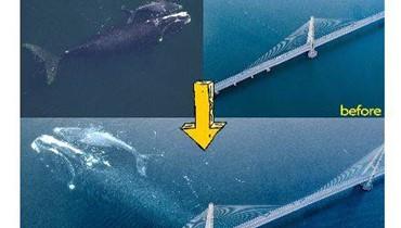 """""""التلفزيون الكندي نقل مرور الحوت وابنه من تحت الجسر""""؟ FactCheck#"""