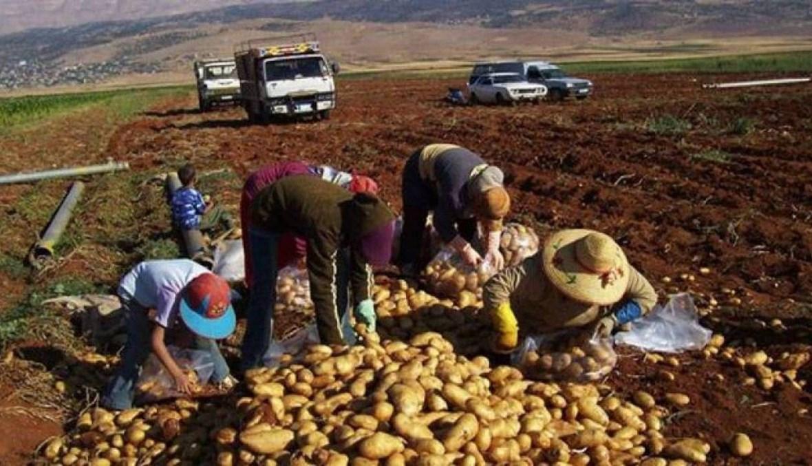 """صرخة مزارعي البطاطا مدويّة... وزير الزراعة لـ""""النهار"""": لا آلية أسرع من دعم الدولار"""