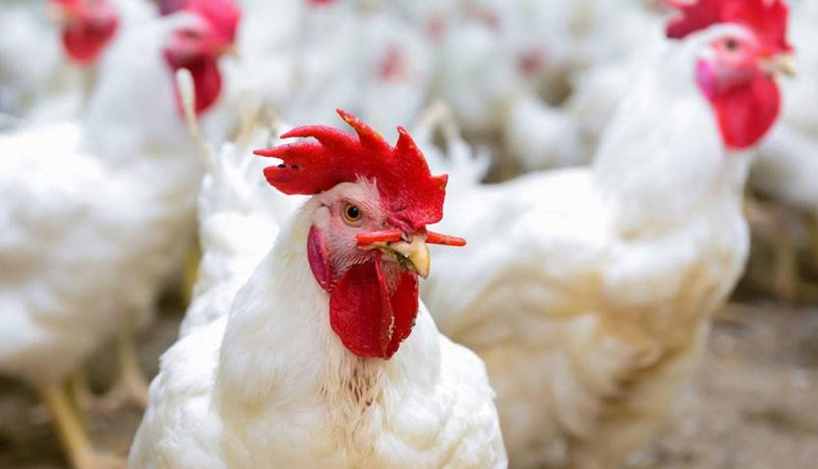 """فضيحة الدجاج الفاسد تابع... ما نتناوله قد يؤدي إلى """"فشل كلوي والتهابات في القلب والجهاز الهضمي""""!"""