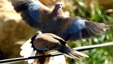 """""""مجازر"""" بيئية بحق الطيور المقيمة في لبنان"""
