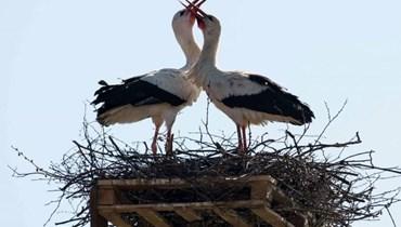 """""""أبو سعن الكبير""""... آمال بإنقاذ فصيلة مهدّدة بالانقراض من طيور اللقلق"""
