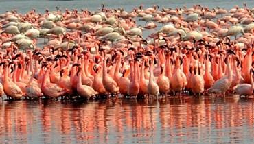 """ظاهرة غير متوقّعة في غياب البشر... طيور """"الفلامينغو"""" تغزو مدينة مومباي (صور)"""
