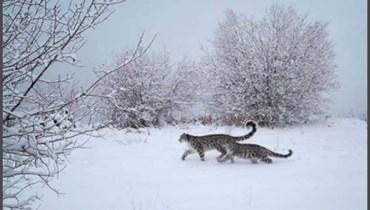 نمور الثلوج النادرة تجوّلت قرب مدينة في قازاخستان في ظلّ قيود كورونا
