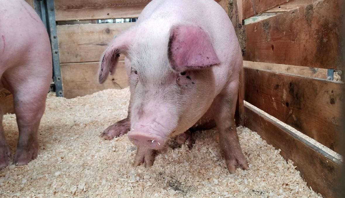 """الصين """"تتخلّص من الخنازير في مقابر جماعيّة لمكافحة كورونا""""؟ FactCheck#"""