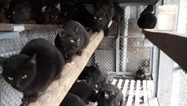 أكل لحم القطط السوداء لمكافحة كورونا في الفيتنام!