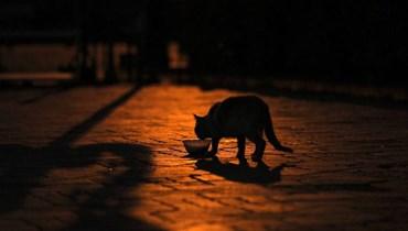 دراسة تتوصل إلى أن القطط قد تصاب بكورونا ومنظمة الصحة تتحقق