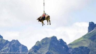 """""""البقرة الطائرة""""... ما قصة الصورة الغريبة في سويسرا؟"""