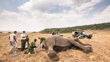 تعرَّض للخطر بينما عبَرَ أراضي كانت تعتبر قديماً موطنه... أطباء بيطريون ينقذون حياة فيلٍ