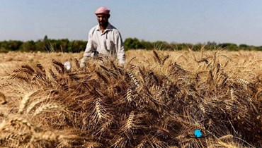 نقابة مزارعي القمح والحبوب: قرار رفع الدعم ظالم