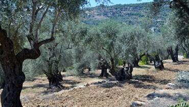 أشجار الزيتون المعمَرة في لبنان... تراث لا بدّ من إكتشافه