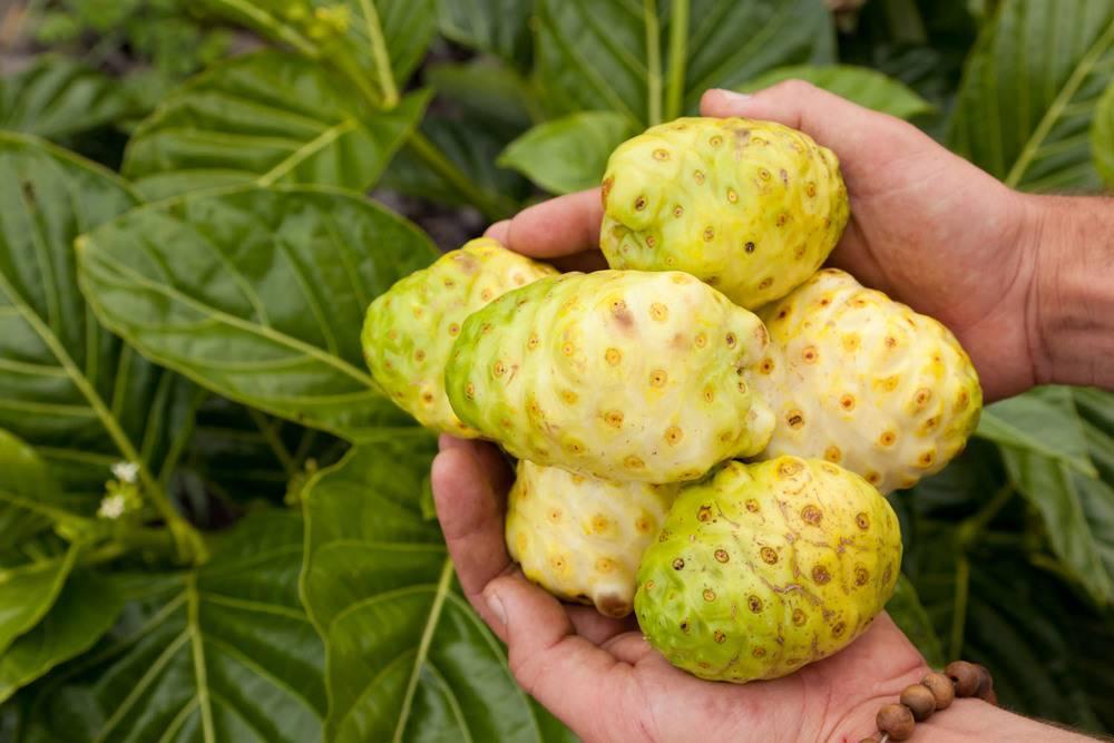فاكهة النوني تخفض الوزن والكليسترول